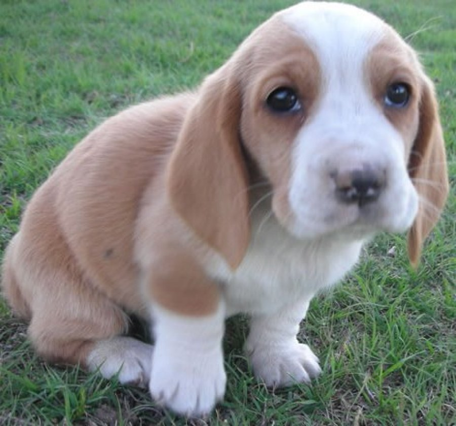 Bassett Direct: Looking For A Basset Hound Pup To Buy Offer