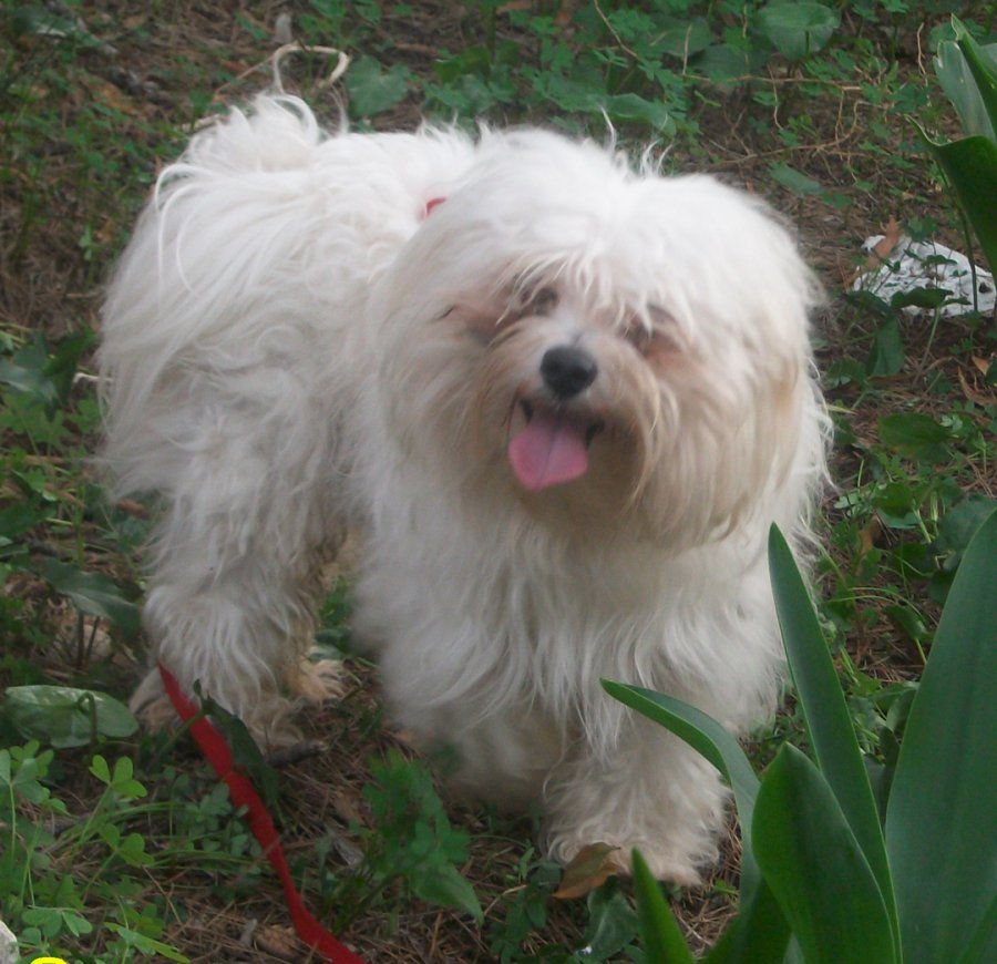 Male Maltese terrier for breeding offer Stud Dogs