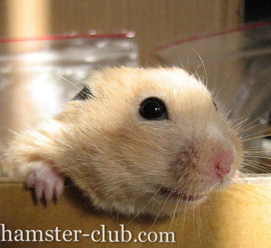 Hamster Club offer Hamsters