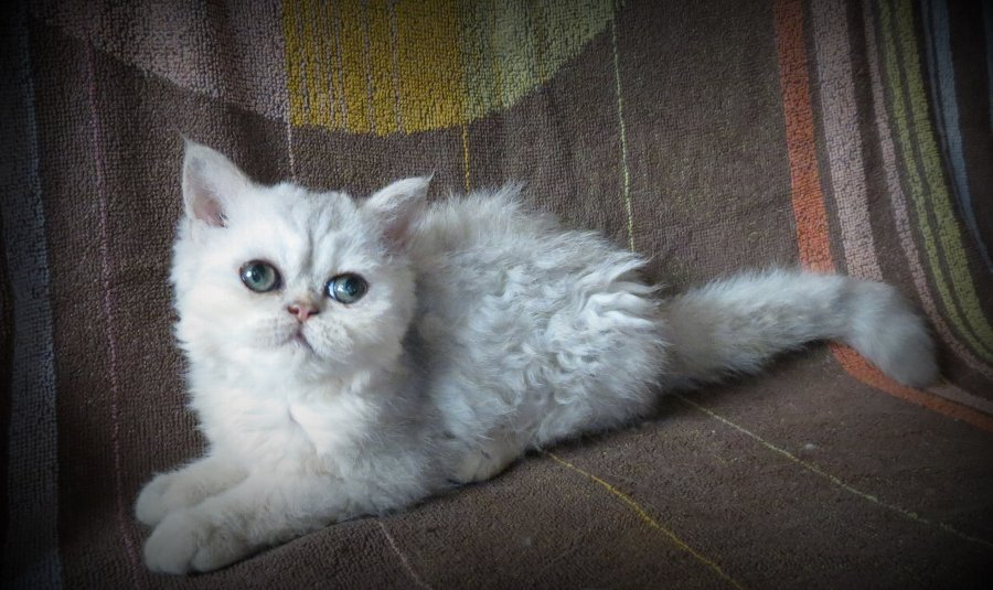 SELKIRK REX KITTENS AVAILABLE SOON offer Selkirkrex