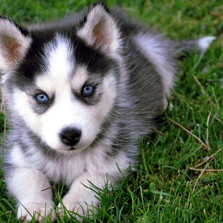 husky puppies for adoption offer Dogs & Puppies