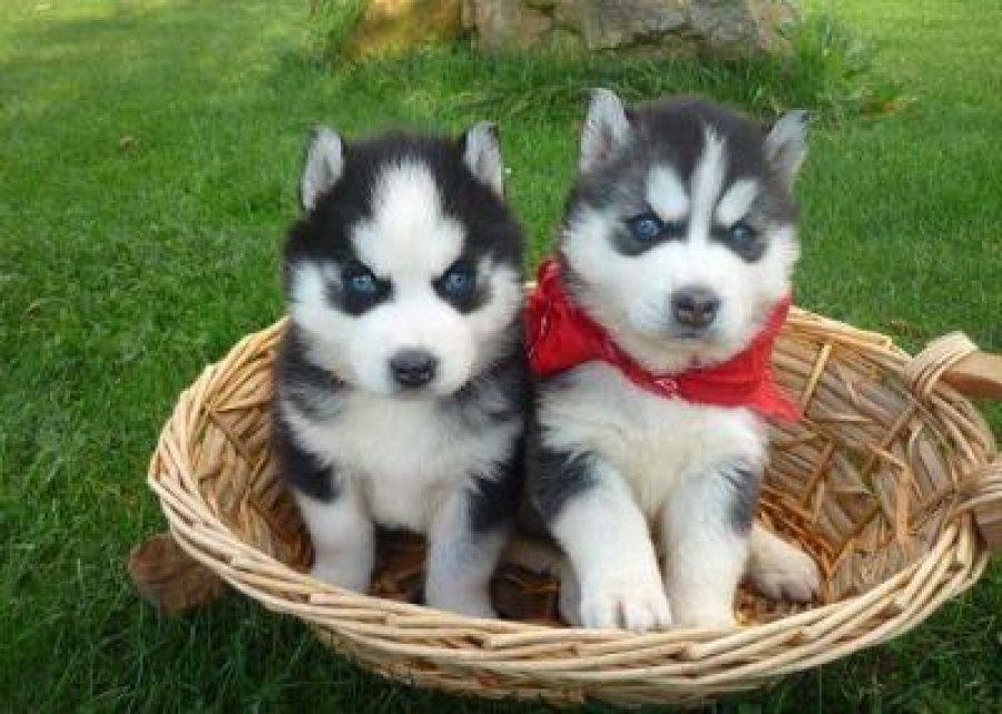Beautiful male and female siberian husky offer Dogs & Puppies