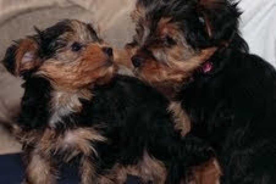 top quality yorkie puppies for free adoption. text me at (559 663 7059) offer Dogs & Puppies