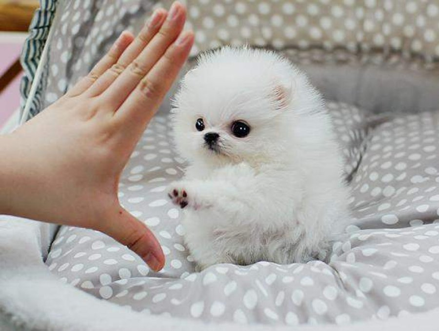 Charming Teacup Pomeranian puppies now ready to go offer Dogs & Puppies