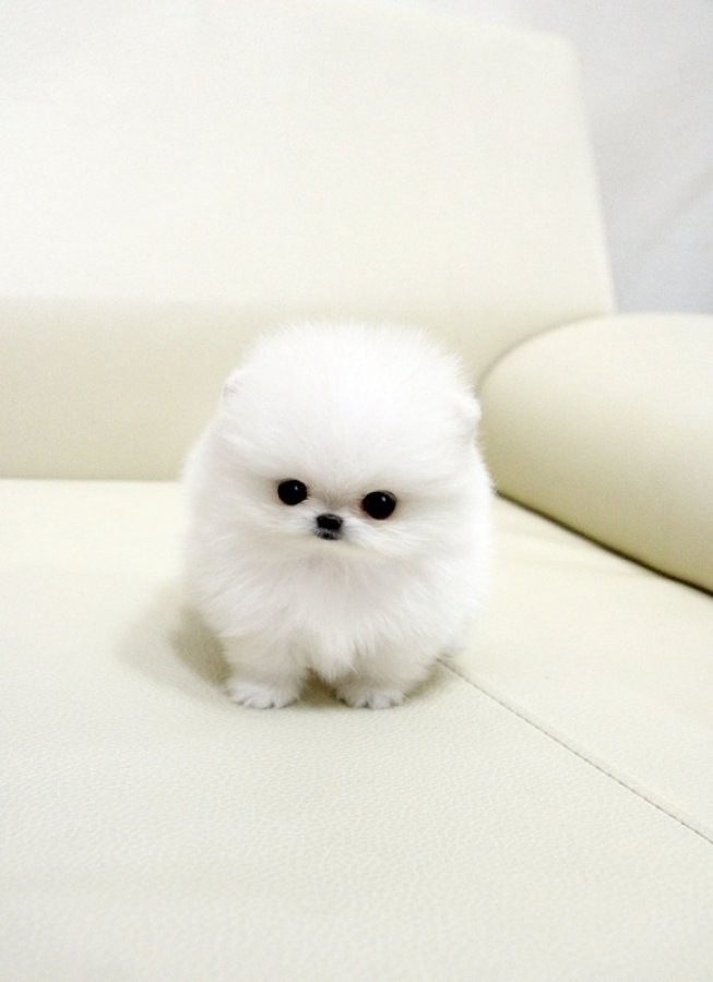 Tea Cup Sized Pomeranian puppies now ready for new homes offer Dogs & Puppies