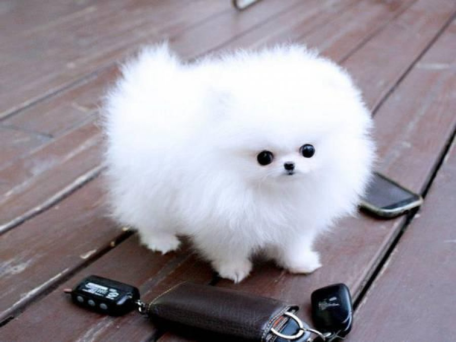 Charming Teacup Pomeranian puppies for adoption offer Dogs & Puppies
