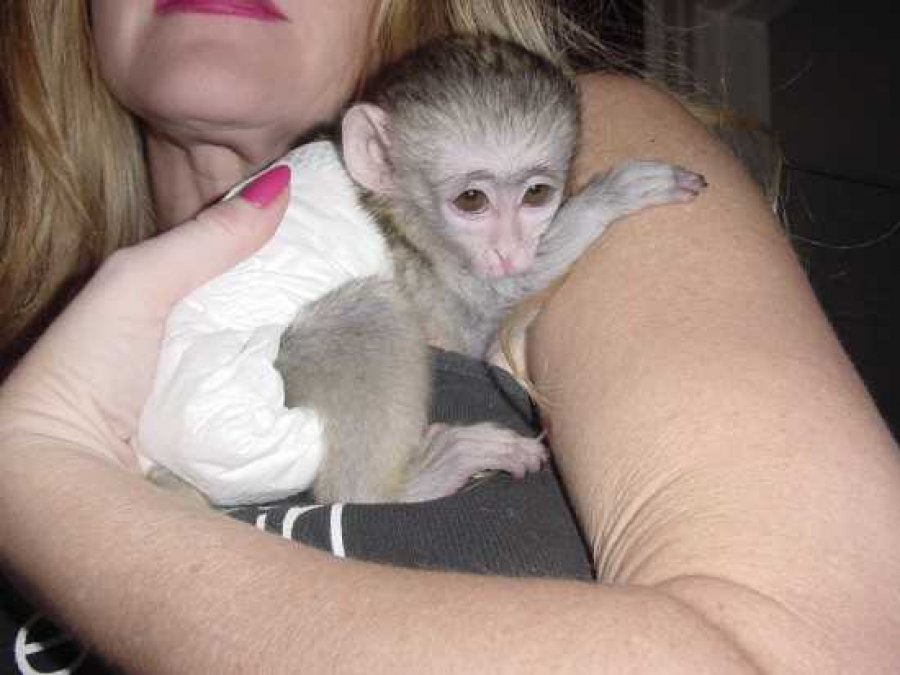 Adorable capuchin monkeys for sale offer Exotic pets