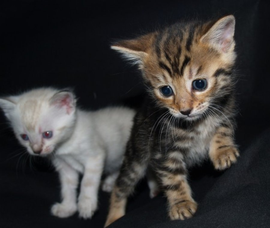 Stunning Spotted/rosetted Bengal Kittens offer Cats & Kittens