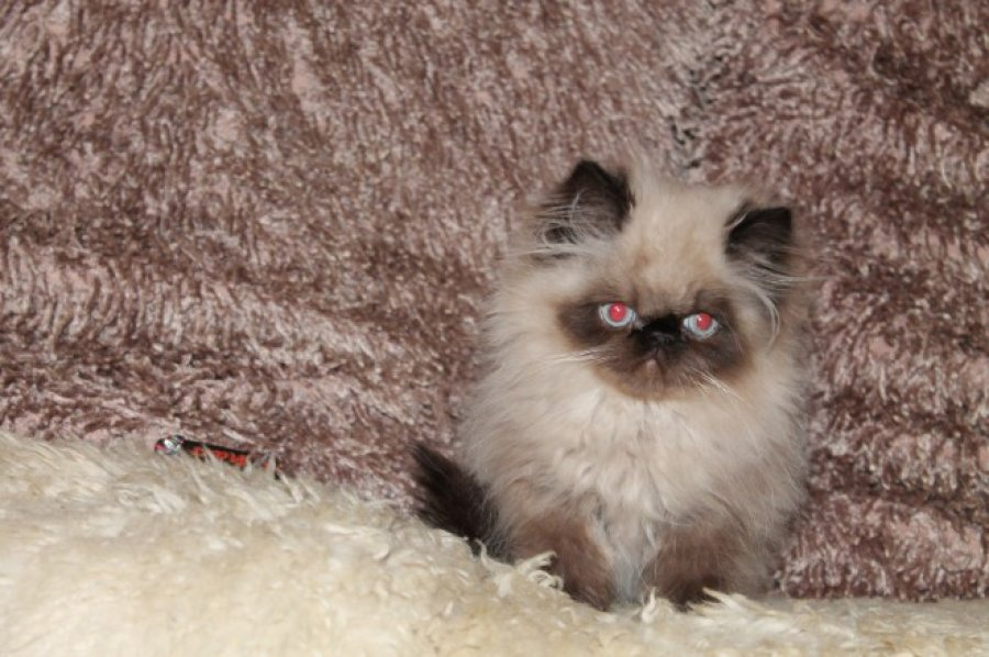 Delightful Cream Persian Male and female Baby Twins offer Cats & Kittens