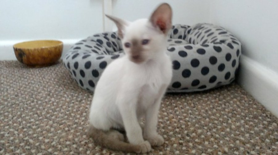 Siamese Lilac Kittens 4 Sale offer Cats & Kittens