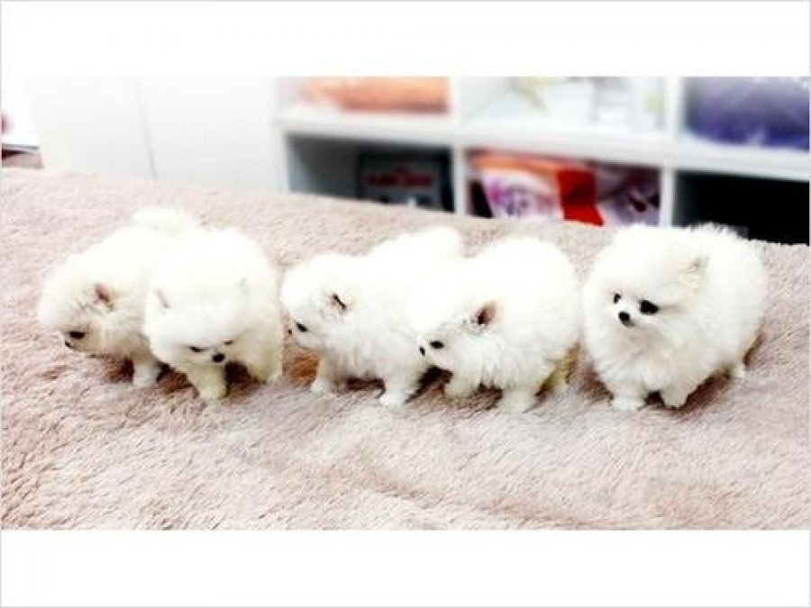 Lovely T-Cup Pomeranian Puppies now available for adoption offer Dogs & Puppies
