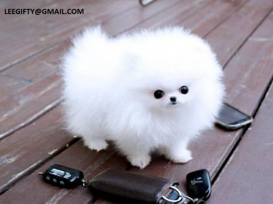 Healthy Male and female Teacup Pomeranian Puppies for adoption offer Dogs & Puppies