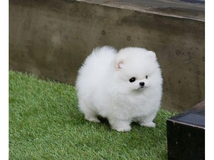 Micro Teacup Pomeranian Puppies available for adoption offer Dogs & Puppies