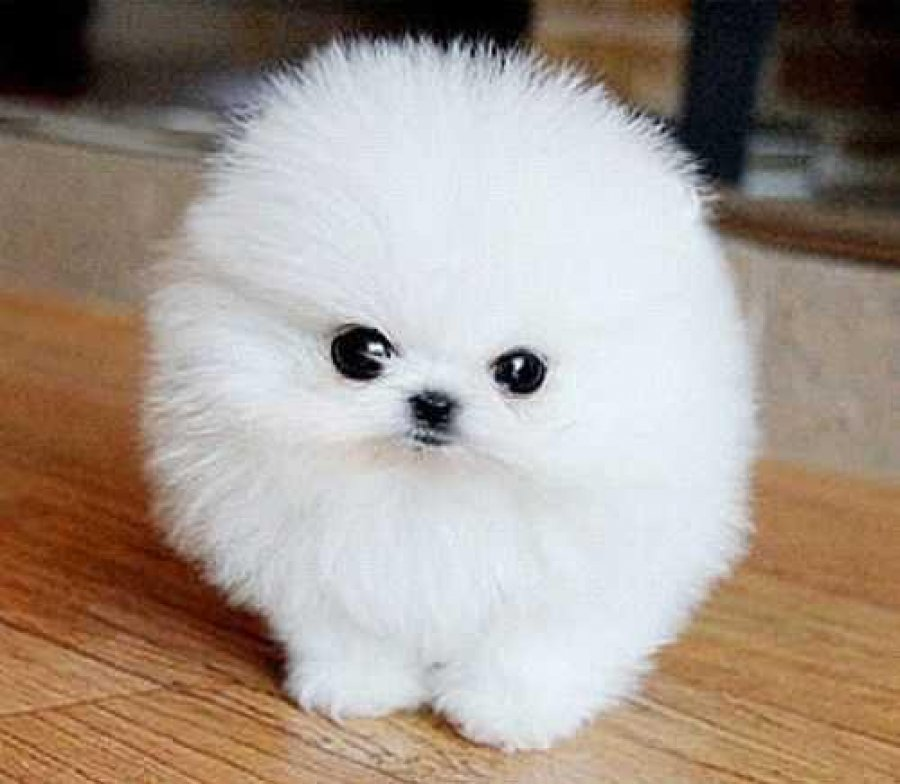 Teacup Sized Pomeranian Puppies available for adoption offer Dogs & Puppies