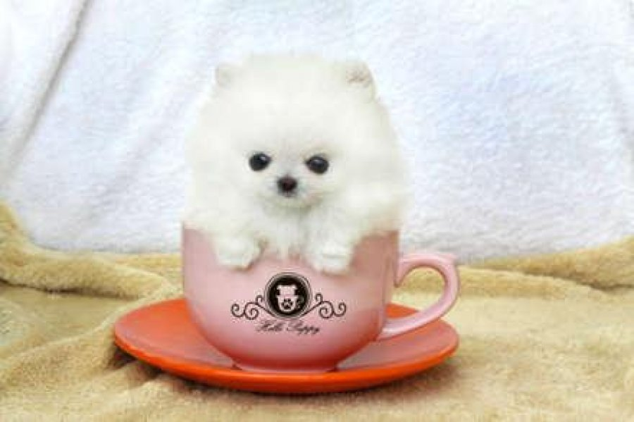 Super Sweet Teacup Pomeranian Puppies available for new ...