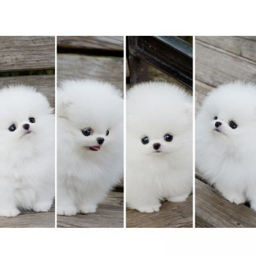 Excellent White Teacup Pomeranian Puppy Available! $175 ...