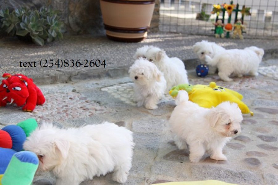 Channing - Stunning Toy Maltese Available! offer Dogs & Puppies