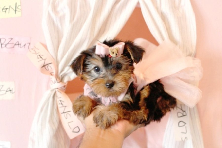 Yorkie Puppy Available!  offer Dogs & Puppies