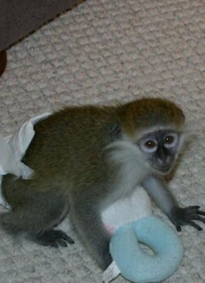 Male and Female Babies Capuchin Monkeys for X-Mas offer Exotic pets