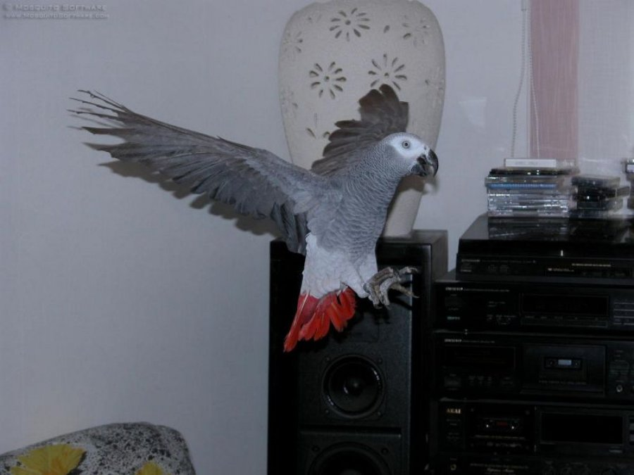 Outstanding Congo African Grey Parrots offer Dogs & Puppies