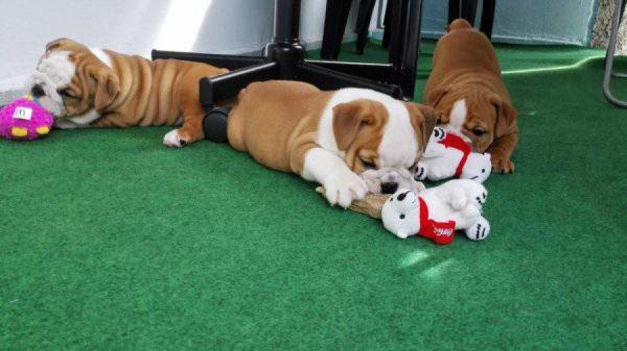 Cute English Bulldog puppies ready offer Dogs & Puppies