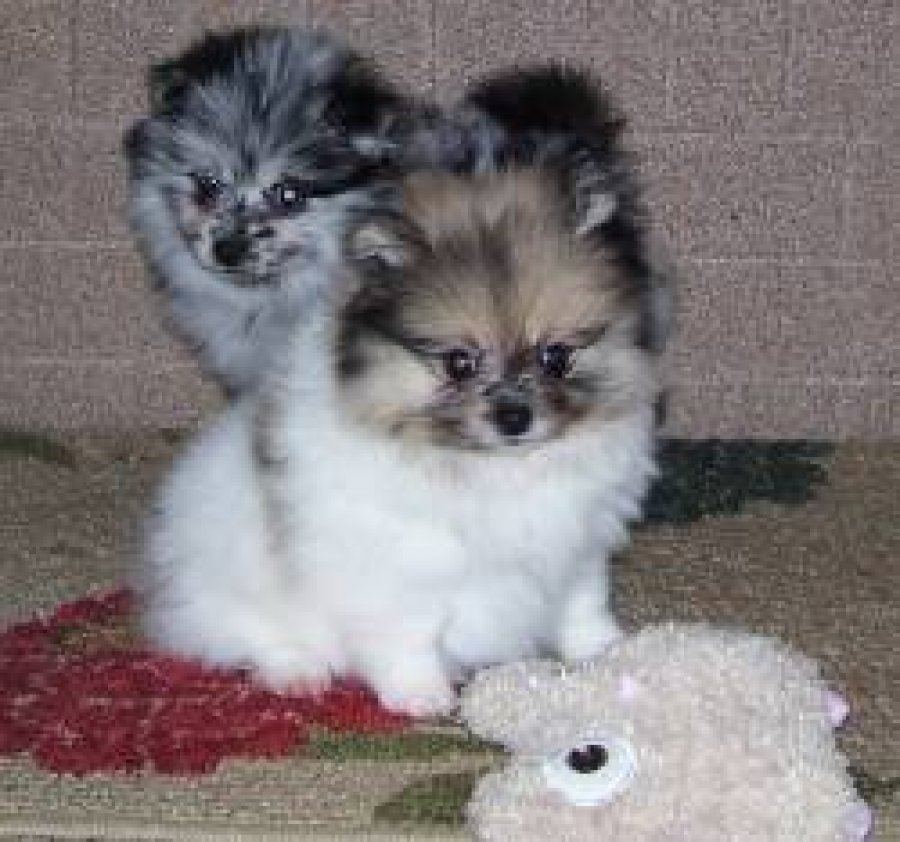 Awaresome Teacup Pomeranian Puppies for loving homes  offer Dogs & Puppies