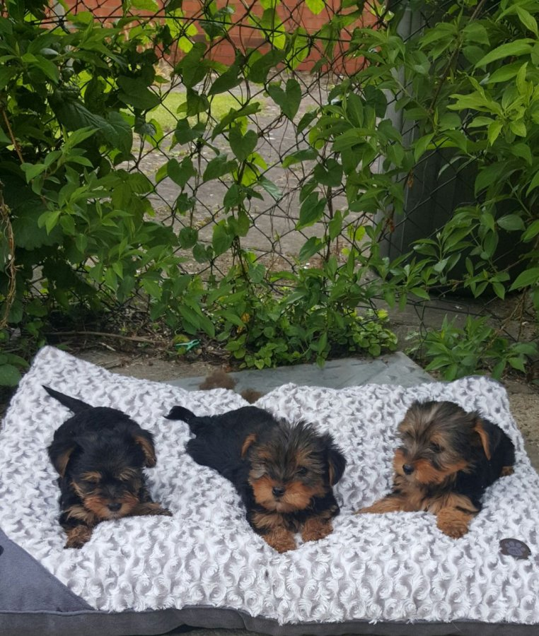 Miniature Yorkshire Terrier Puppies offer Dogs & Puppies