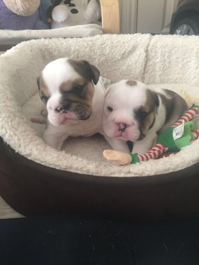 Stunning English Bulldog Pups Triple Carriers offer Dogs & Puppies