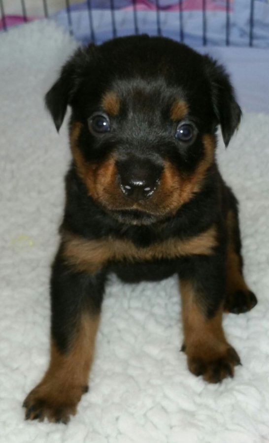 Rottweiler Puppies Ready offer Dogs & Puppies