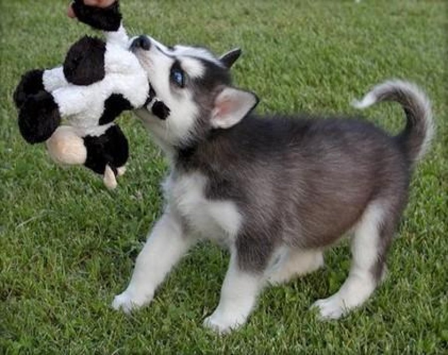 ... Photos - Siberian Husky Puppies Male And Female Available Malaysia