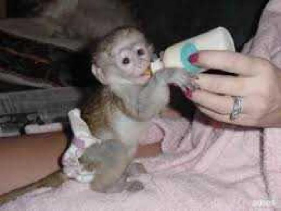 Cute baby capuchin monkeys for adoption Offer