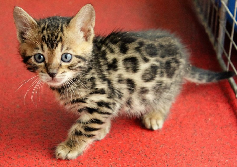 Exceptional Pedigree Bengal Kittens For Sale offer Bengal