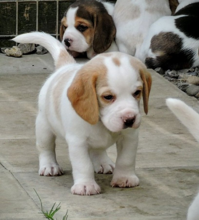 Kennel Club Registered Beagle Puppies offer Dogs & Puppies