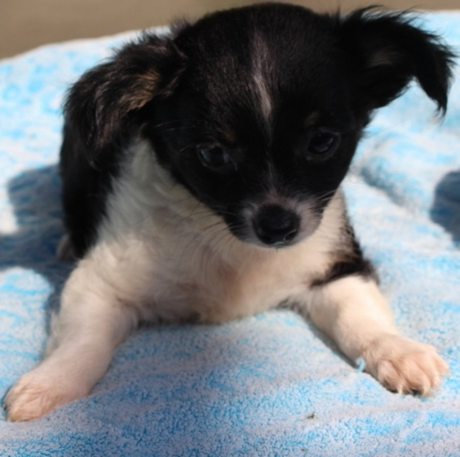 black and white chihuahua offer