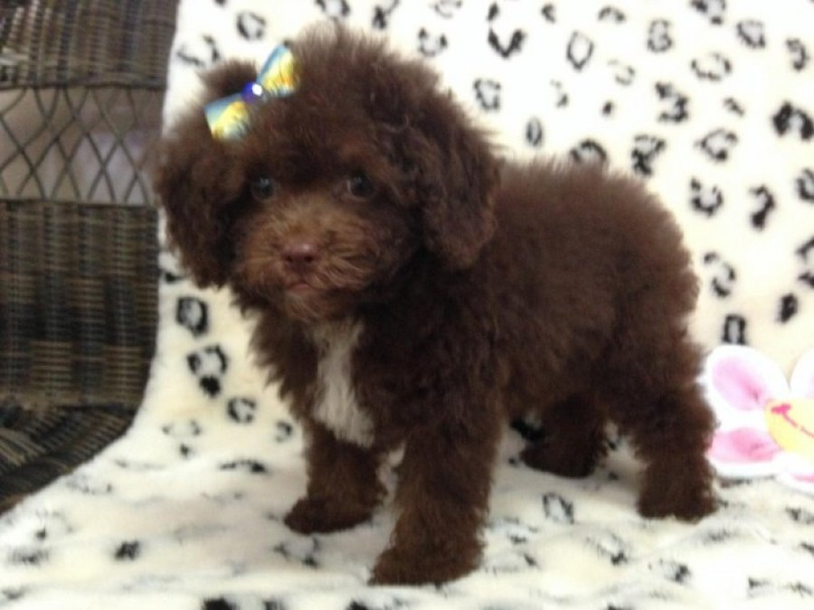 Beautiful, Female Cockapoo! offer Dogs & Puppies