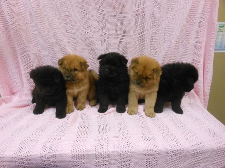 Very Playful Chow Chow Pups For Sale offer Dogs & Puppies