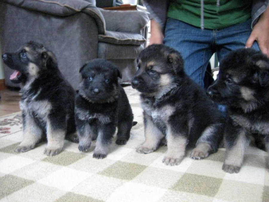 German Shepherd Puppies for Sale offer Dogs & Puppies