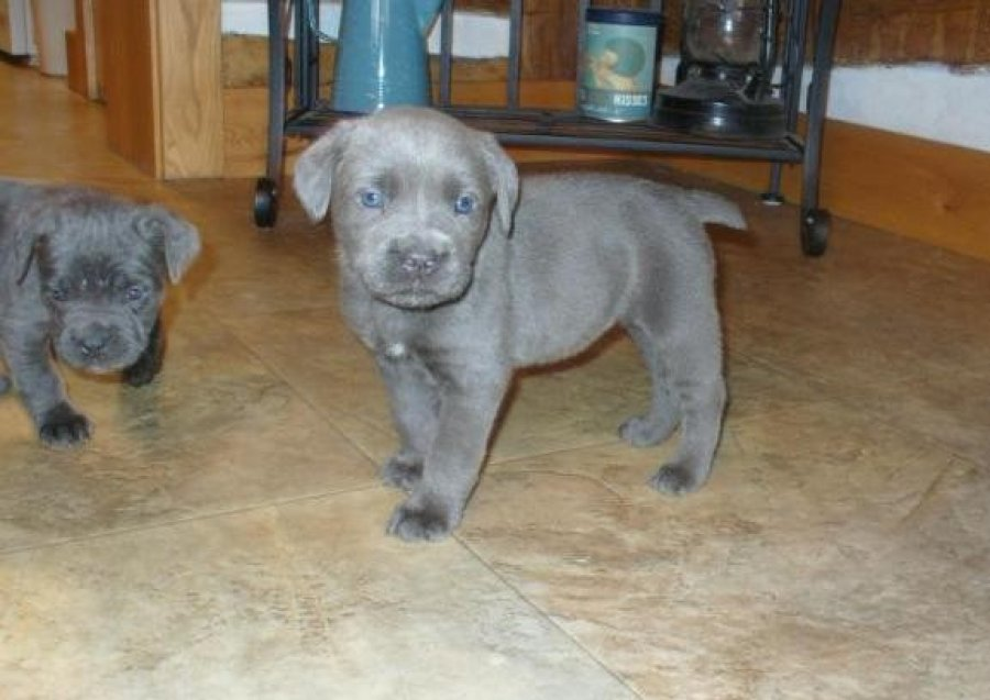 Registered Cane Corso Pup offer Dogs & Puppies