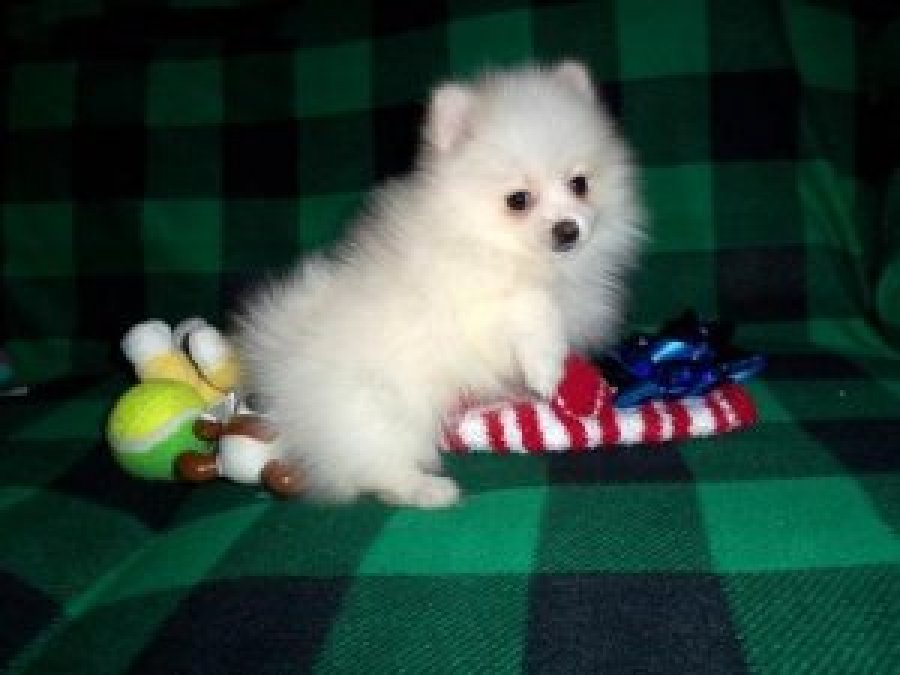 Pomeranian Puppies  Adopt A Pet