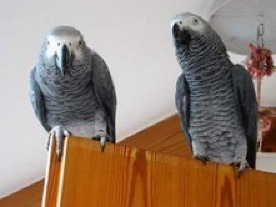 Exotic Birds For Sale >> African grey parrot for adoption Offer
