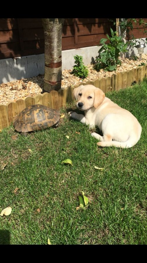 Golden Retriever Puppy for Sale offer Dogs & Puppies