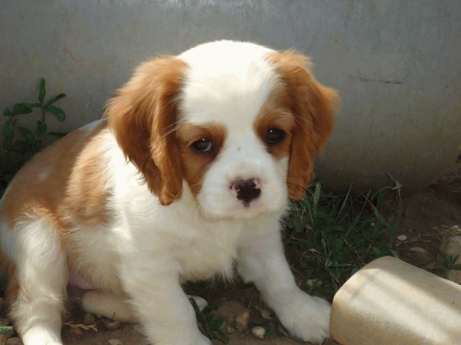 Cavalier King Charles Spaniel Puppy offer Dogs & Puppies