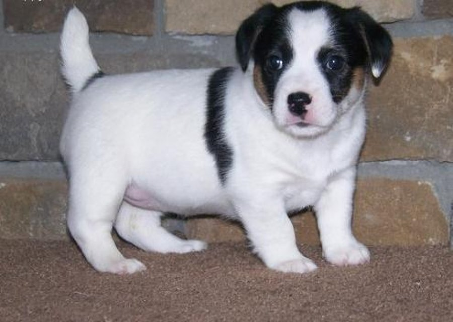 Jack Russel pups offer Dogs & Puppies