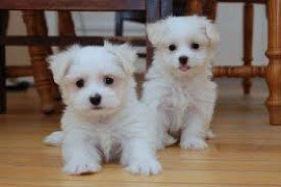 Adorable male and female Maltese puppies Offer