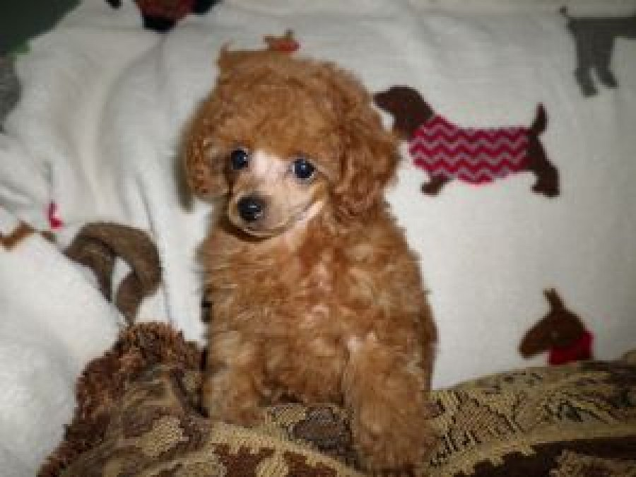 male and female toy poodle puppies offer