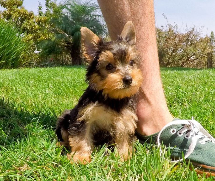 adorable yorkie puppies for adoption offer
