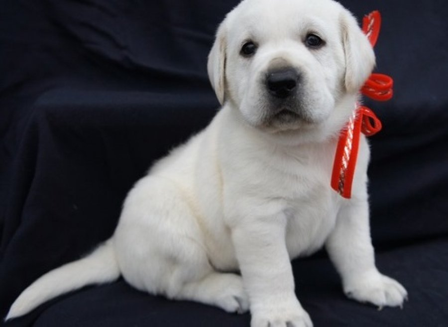 cute labrador retriever puppies available for adoption offer