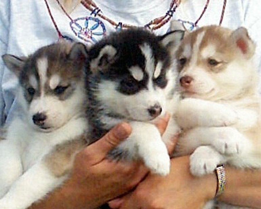 Adorable siberian husky puppies for adoption offer Dogs & Puppies