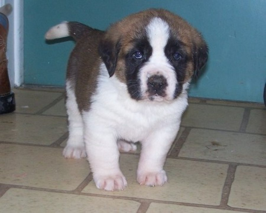 Lovely saint Bernard puppies for free adoption offer Dogs & Puppies