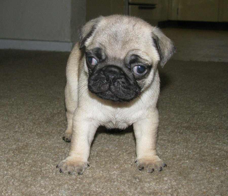 Beautiful Pug puppies ready now offer Dogs & Puppies